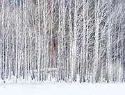 Vibrant Winter Aspen Grove With Pondersoa Pine, Washington State