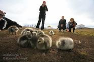 26: SVALBARD GIRL & GOSLINGS