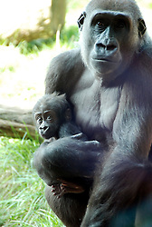 © under license to London News Pictures. 29/03/11. Proud mum Mjukuu the gorilla took advantage of yesterday's spring sunshine to take her five-month-old son Tiny to explore their outdoor island for the first time.The youngster clung to his 12-year-old mum as she made her way around their lush home, which includes climbing branches and a cave. Together with 'Aunty' gorillas Zaire, 36, and Effie, 17, the baby western lowland gorilla and his mum climbed trees and ate coconuts in yesterday's spring sun. Up until now Mjukuu has preferred to keep her precious son inside in the warm away from the winter weather.Photo credit should read ZSL/LNP