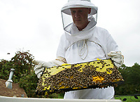 """Dr Barry Chapin of Gilford pulls out a single frame showing a small section of the """"brood"""" (eggs- darker yellow cells in the lower part of the frame) along with the honeycombs while inspecting his Honey beehive on Sunday afternoon.  (Karen Bobotas/for the Laconia Daily Sun)"""