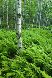 Ferns and paper birch trees in a forest in Turner, Maine.