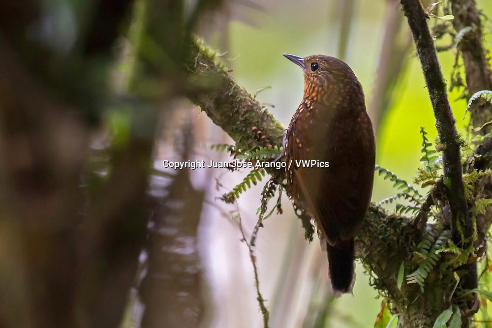 Spotted Barbtail (Premnoplex brunnescens), km 18, Cali, Valle del Cauca