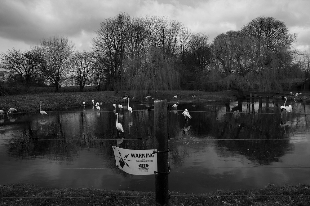 An electric fence warns of shock at the Flamingo enclosure at the Whipsnade Zoo during a school field trip to Dunstable, England Wednesday, March 4, 2015 (Elizabeth Dalziel) #thesecretlifeofmothers #bringinguptheboys #dailylife