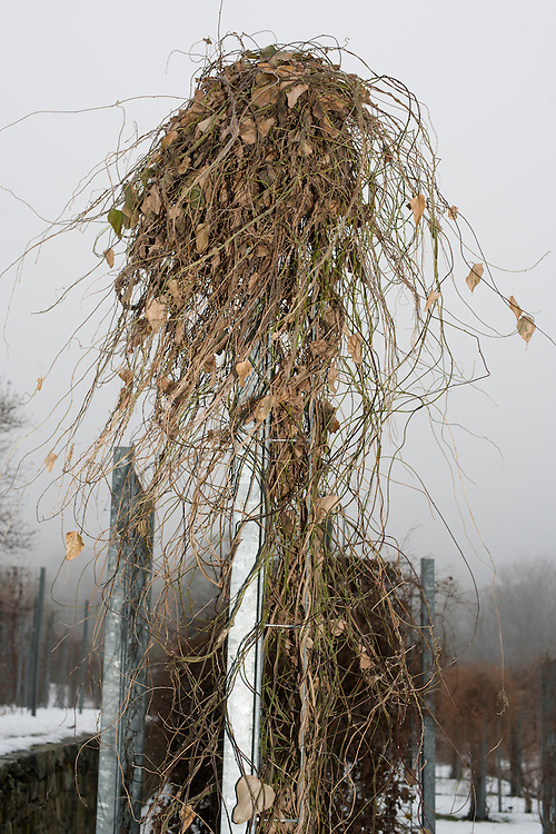 Dead Vine Wig, The Boston Arboretum, Massachusetts, 2013 Trees and park frozen, Boston, MA