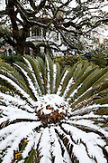 CHARLESTON, SC - February 13: Snow on the fronds of a tropical sago palm along the historic battery February 13, 2010 during a rare snow storm in Charleston, SC. About 3-inches of snow fell on the Charleston area, the first significant snow in 20-years.    (Photo Richard Ellis/Getty Images)