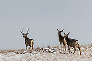 A buck mule deer and his herd in west-central North Dakota on Monday, Feb. 26, 2018.