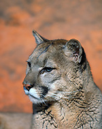 Close-up portrait of mountain lion with sandstone background, [captive, controlled conditions] © 1999 David A. Ponton