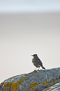 Rock Pipit bird on lichen-covered rock on the beach at Woolacombe, North Devon, UK