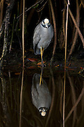 A yellow crowned night heron caught in perfect reflection in the Everglades National Park
