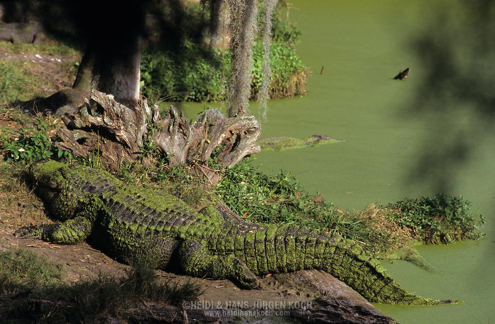 Vereinigte Staaten von Amerika, USA, Florida: amerikanischer Mississippi-Alligator (Alligator mississippiensis) am Flussufer.   United States of America, USA, Florida: American Alligator, Alligator mississippiensis, on a riverbank.  