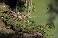 Vereinigte Staaten von Amerika, USA, Florida: amerikanischer Mississippi-Alligator (Alligator mississippiensis) am Flussufer. | United States of America, USA, Florida: American Alligator, Alligator mississippiensis, on a riverbank. |