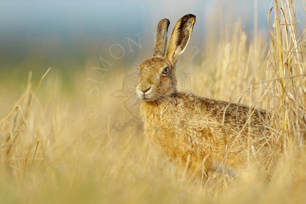 European Hare (Lepus europaeus) adult, standing on edge of field margin South Norfolk, UK. August.