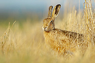 European Hare (Lepus europaeus) adult, standing on edge of field margin South Norfolk, UK. August.