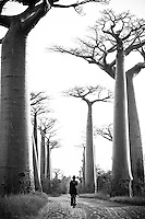 An old man walks down Baobab Alley, near Morondova, Madagascar at sunrise in this black and white image