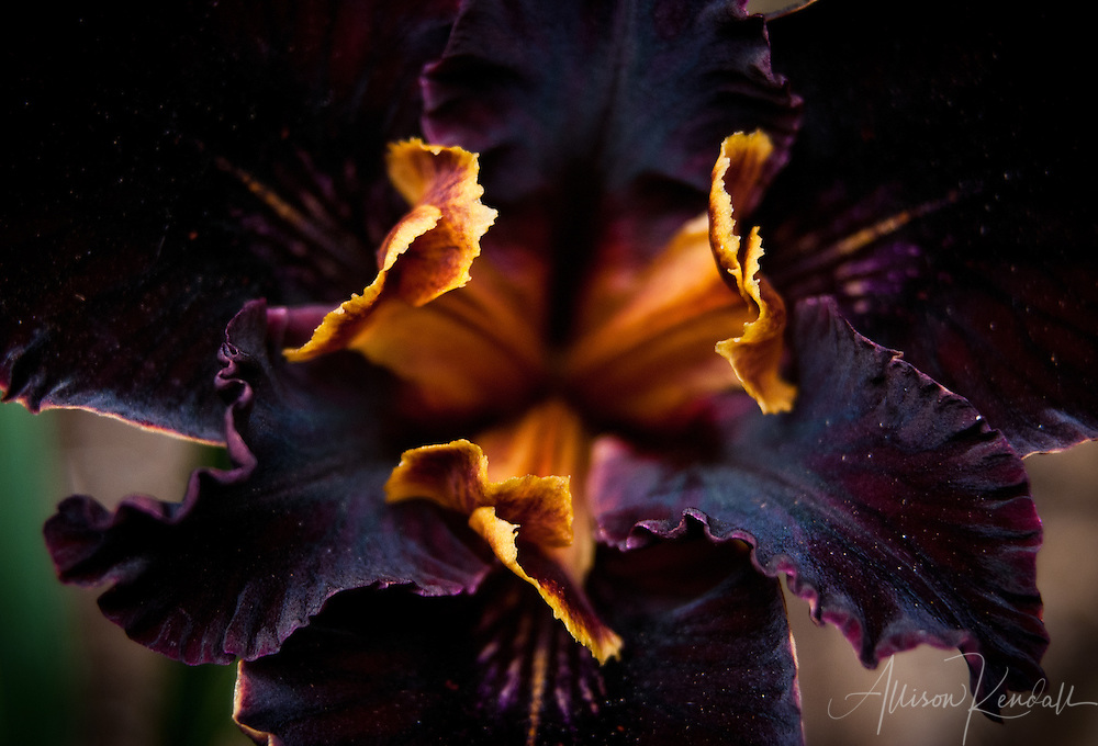 Macro detail of the center of a black, yellow, purple dark flowering native California iris<br /> <br /> More about this series on the blog: https://goo.gl/u8K5aE