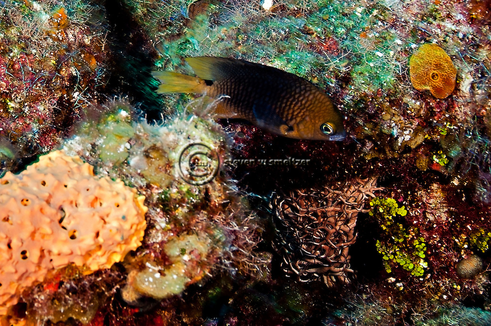 Threespot Damselfish, Stegastes planifrons, (Cuvier, 1830), Grand Cayman