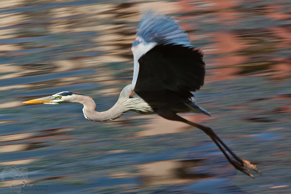 A Great Blue Heron takes flight above a pond.