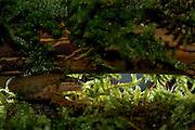 Palmate newt (Triturus helveticus) | Das Fadenmolch-Weibchen (Triturus helveticus) hat sein Laichgewässer verlassen und ist nun ein Bewohner des Waldbodens. Die Tiere halten sich gut versteckt und sind nur schwer zu finden.