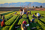 Mexican Nationals at work in a Lettuce field near El Centro, CA on Wednesday, March 5, 2014.  Lines at the U.S.-Mexico border from Mexicali are extremely long for many laborers  who cross each morning,  where sometimes the wait can be up to Four hours.(Photo by Sandy Huffaker/Getty Images for NBC.Com)