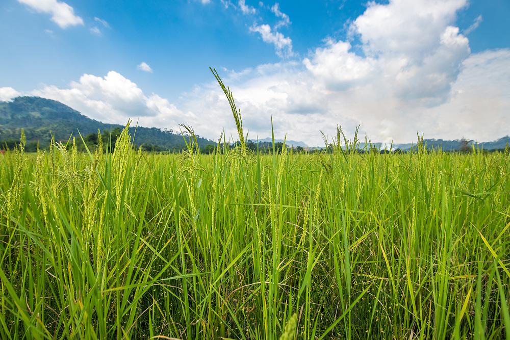 African Rice (Oryza glaberrima) plant in field, Gbedin village, Nimba County , Liberia