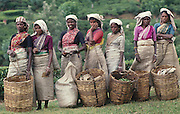Sri Lanka. Tea Pluckers with their baskets. 1989