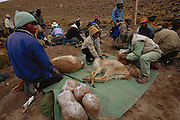 People shearing wild Vicuna for their wool {Lama vicugna} SW Bolivia, South America - to benefit Guadalupe community Dept Potosi 2001
