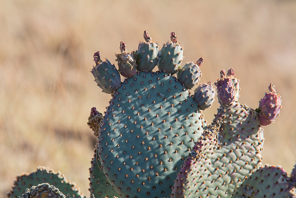 A beavertail cactus in the Sonoran Desert just outside of Palo Verde in Southern California showing the developing fruits on the top of the pads. You can still see the dried up flowers that have yet to fall off since they were pollinated.