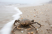 Common Spider Crab; Libinia emarginata; washed up on beach; NJ, Cape May