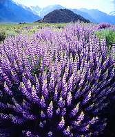 When I saw these tall bright purple flowering plants I knew I had to take photos of this Bush Lupine wildflowers below Mt Whitney in the Sierra Nevada Mountains.