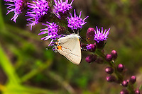 Gray hairstreak butterfly feeding on a blazing star wildflower in the CREW Marsh Hiking Trails in Collier County, Florida.