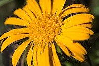 Oedera imbricata flower, Fernkloof Nature Reserve, Hermanus, Western Cape, South Africa