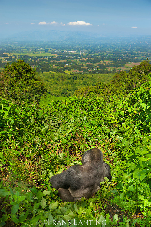 Mountain gorilla silverback in forest clearing with farmers fields below, Gorilla beringei beringei, Volcanoes National Park, Rwanda