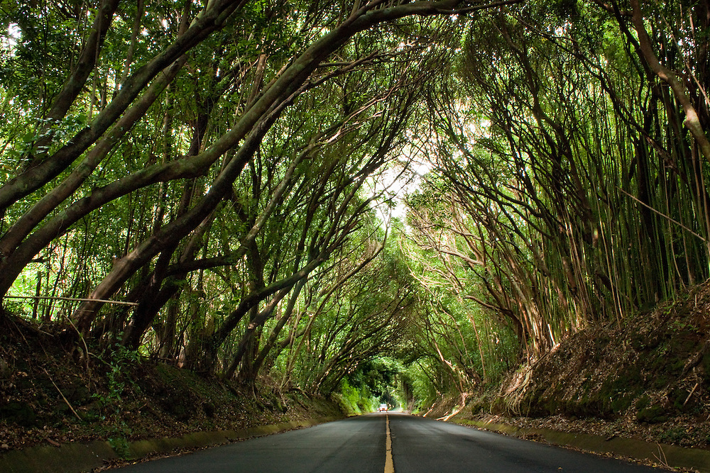 Tree tunnel on Old Pali Highway in Nuuanu valley, Oahu, Hawaii