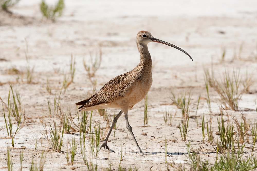 A Long Billed Curlew feeds in the mud for invertebrates and insects using its long bill.