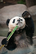 Giant Panda cub, Xiao Liwu, munches on bamboo at the San Diego Zoo.  The panda, Ailuropoda melanoleuca, is a conservation reliant endangered species