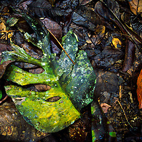 Leaves on ground in rain forest, Cockscomb Basin Wildlife Preserve, Belize