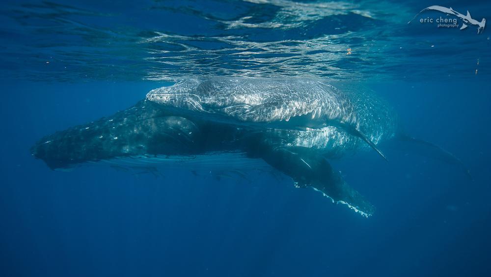 A large mother humpback whale (Megaptera novaeangliae) and her young calf. Vava'u, Tonga.