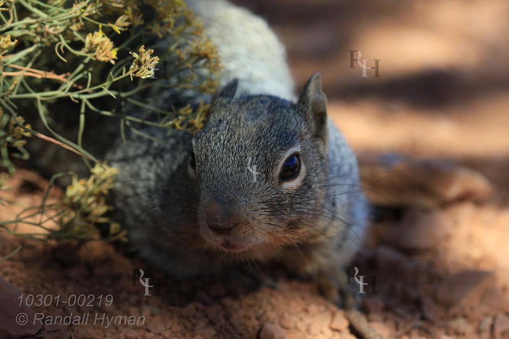 Rock squirrel (Spermophilus variegatus) at Cedar Point; Grand Canyon National Park, Arizona.