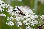 Black and Yellow Mud Dauber; Sceliphron caementarium; on Yarrow flower; PA, Berks County, French Creek State Park