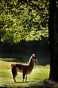 A llama stands in the shade of a tree in Brevard, NC in the Blue Ridge mountains of western North Carolina.