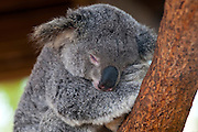 Koala (Phascolarctos cinereus) in the Townsville sanctuary, Queensland, Australia