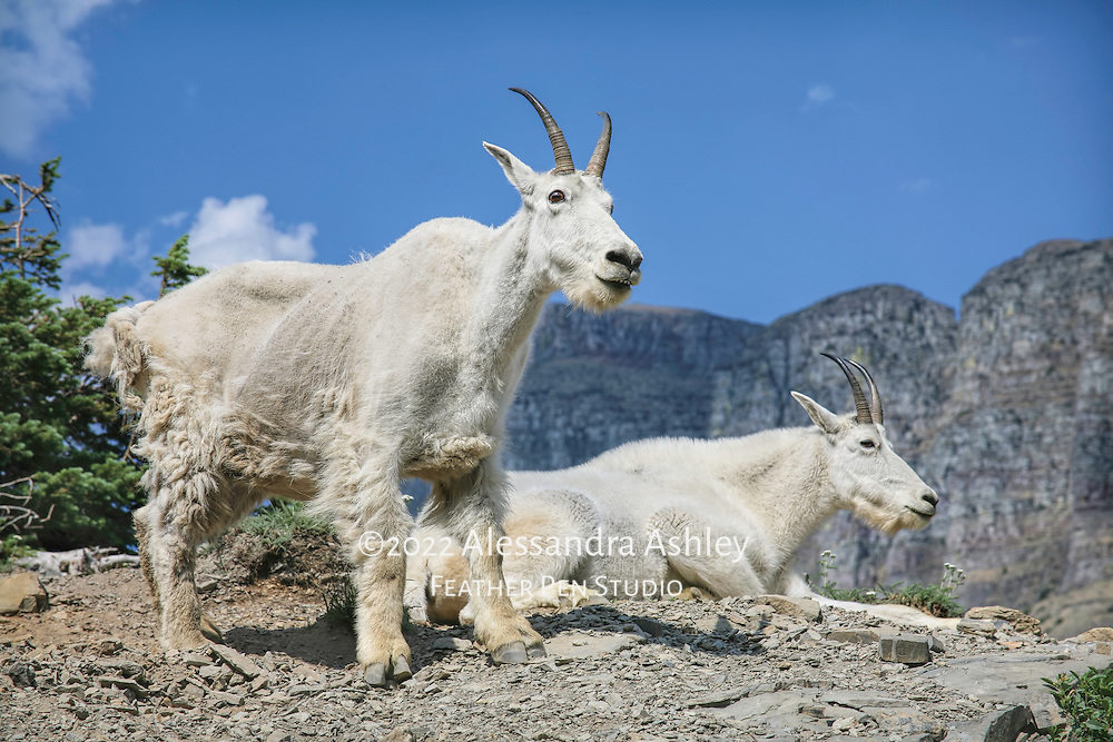 Mountain goats, Oreamnos americanus, on mountainside. Photographed at Glacier National Park, northwest Montana. Published in Wild Planet magazine, Issue 46/Aug.2017.