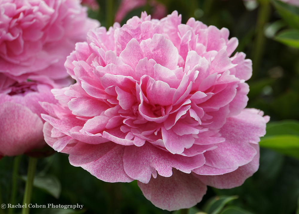 &quot;Pink Sorbet&quot;<br />