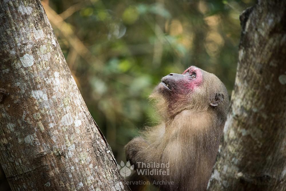 Stump-tailed Macaque (Macaca arctoides) in Kaeng Krachan national park, Thailand