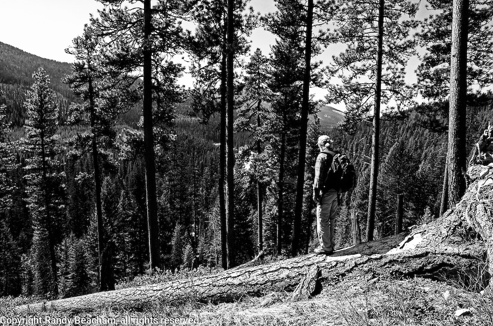 Looking for antler sheds in a pondersoa pine forest in spring. Yaak Valley Montana