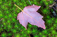 A close up of fall leaf on moss in the white mountains of New Hampshire.
