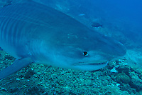 Tiger Shark Makes a Close Pass
