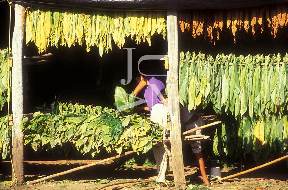 Gente secando la hoja del tabaco, Estado Monagas, Venezuela