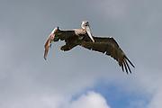 Prickley Pear Beach. Pelican.