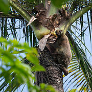 The Sunda flying lemur (Galeopterus variegatus), also known as the Malayan flying lemur or Malayan colugo, is a species of colugo.. Colugos are arboreal gliding mammals found in Southeast Asia, and the closest relative of the primates. They are the most capable gliders of all gliding mammals, using flaps of extra skin between their legs to glide from higher to lower locations. They are also known as cobegos or flying lemurs, but they are not true lemurs, simply close relatives.